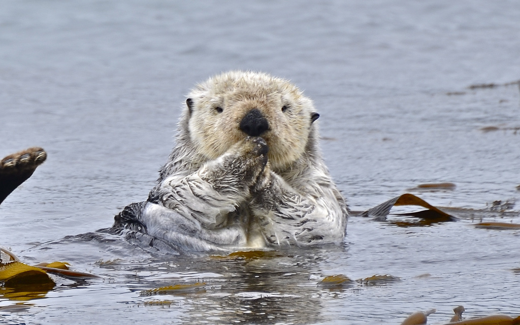 sea otter by linda tanner / goingslo (via Flickr)